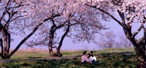 カップルと桜